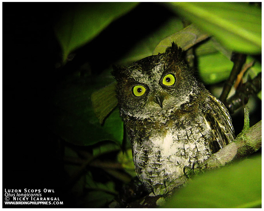 luzon-scops-owl