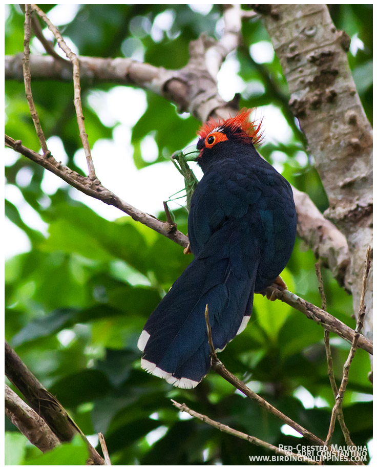 Rough-crested (red-crested) Malkoha