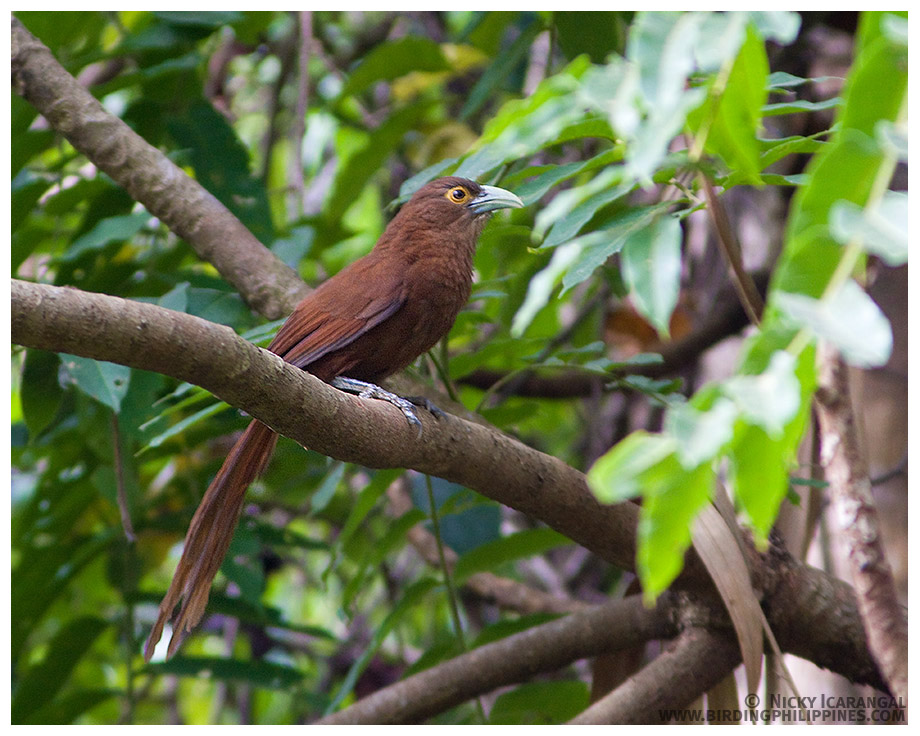 http://www.birdingphilippines.com/wp-content/gallery/birds-from-luzon/rufous_coucal_img_4177.jpg