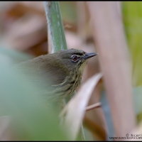 Luzon Striped Babbler
