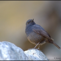 Luzon Water Redstart (female)