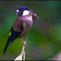White-cheeked Bullfinch