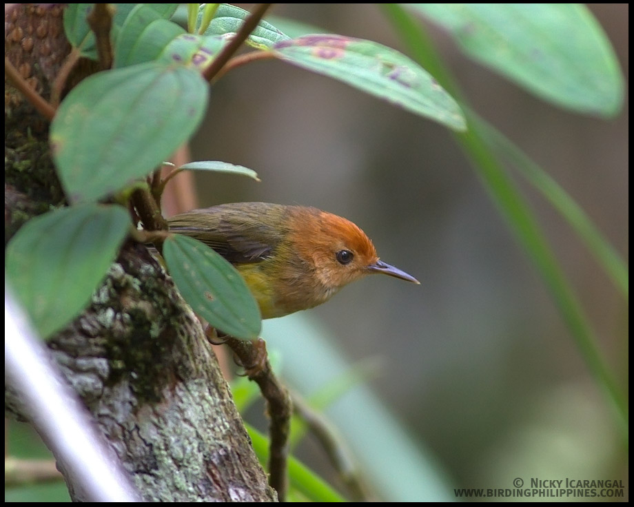 Rufous-headed Tailorbird