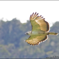 The Great Philippine Eagle