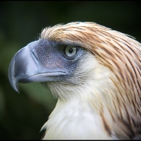 The Great Philippine Eagle (captive bird)