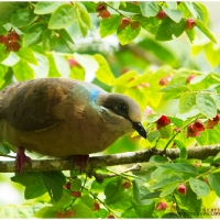 White-eared Brown Dove