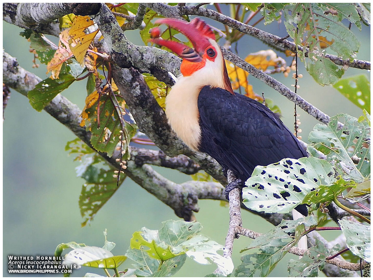 Writhed Hornbill