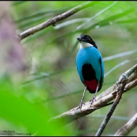 Steere's (Azure-breasted) Pitta