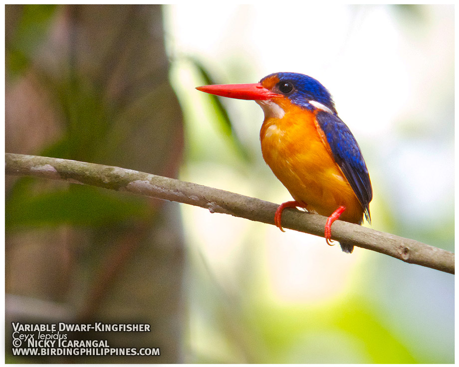Variable Dwarf-Kingfisher