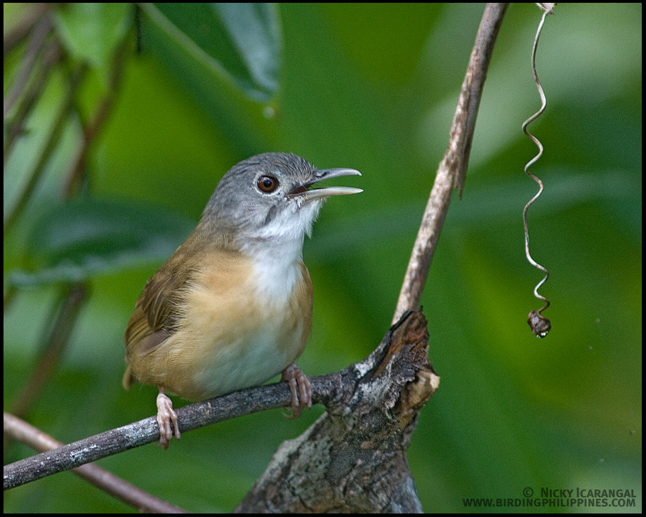 Ashy-headed Babbler