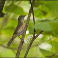 Melodious Tree Babbler