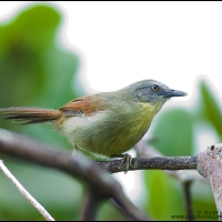 Striped tit babbler