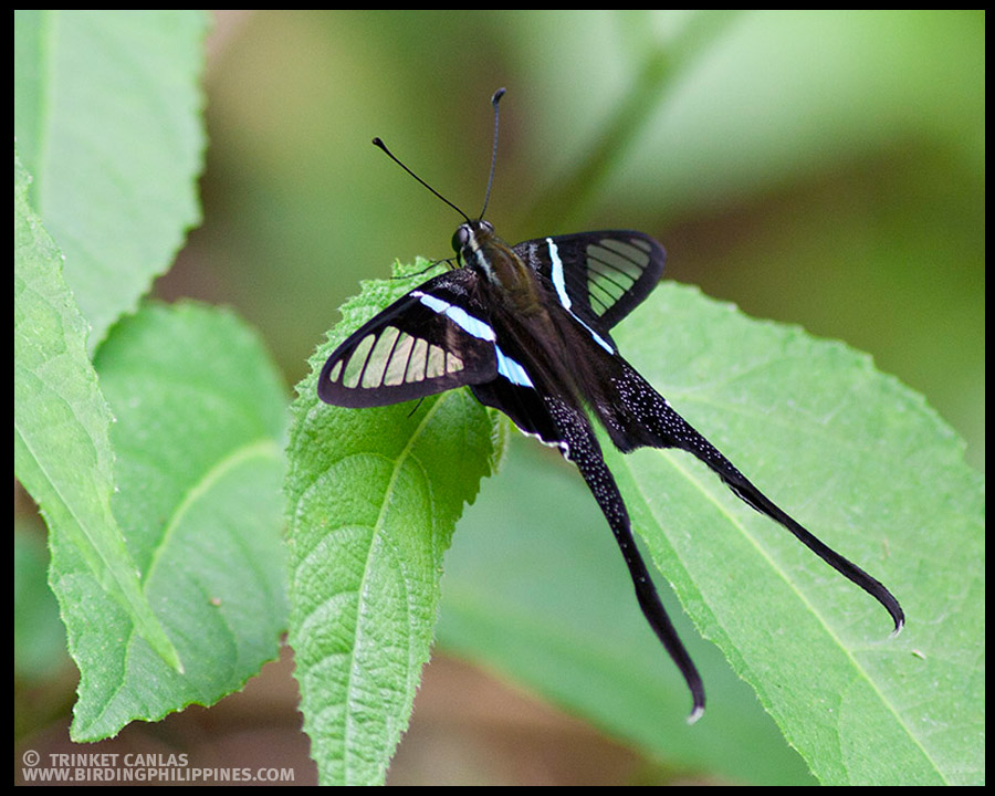 Green Dragontail (Lamproptera meges)