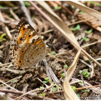 Blue Pansy (female) (Junonia orythia)