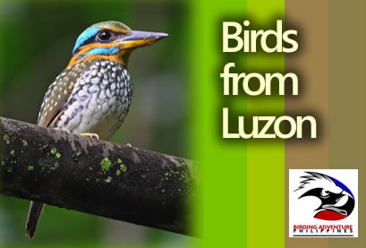 Birds from Luzon