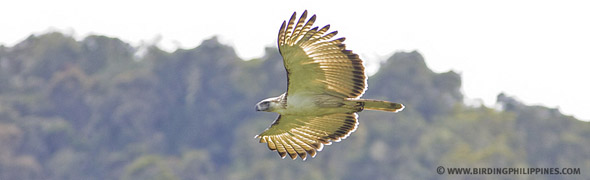 The Great Philippine Eagle flying high over Mt. Kitanglad Mountain Range