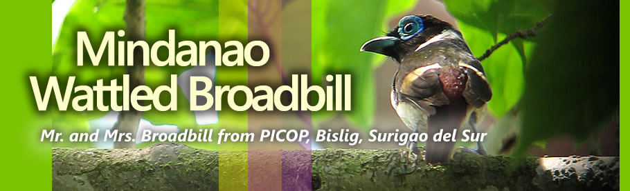 Mr. and Mrs Mindanao Wattled Broadbill Copyright Nicky Icarangal JR.  / www.birdingphilippines.com  birding philippines #birdingphilippines