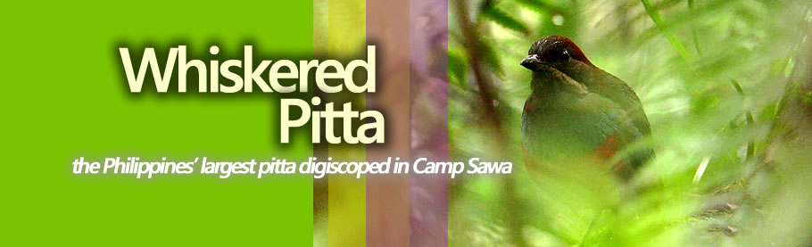 A calling Whiskered Pitta Copyright Nicky Icarangal JR.  / www.birdingphilippines.com  birding philippines #birdingphilippines