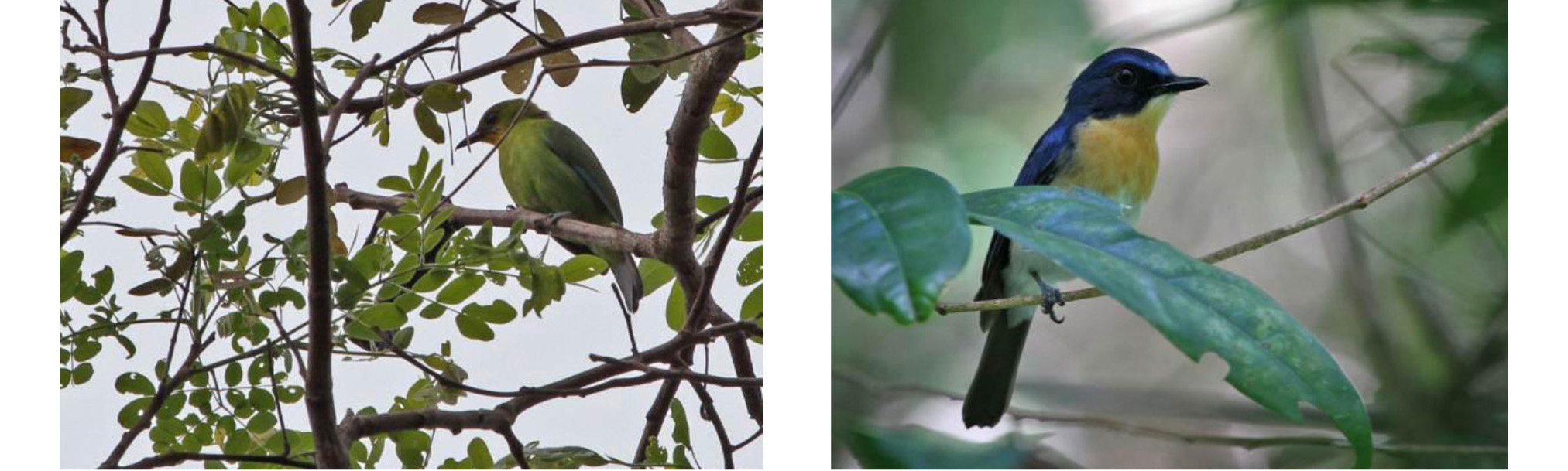 Yellow-throated Leafbird and Palawan Blue Flycatcher