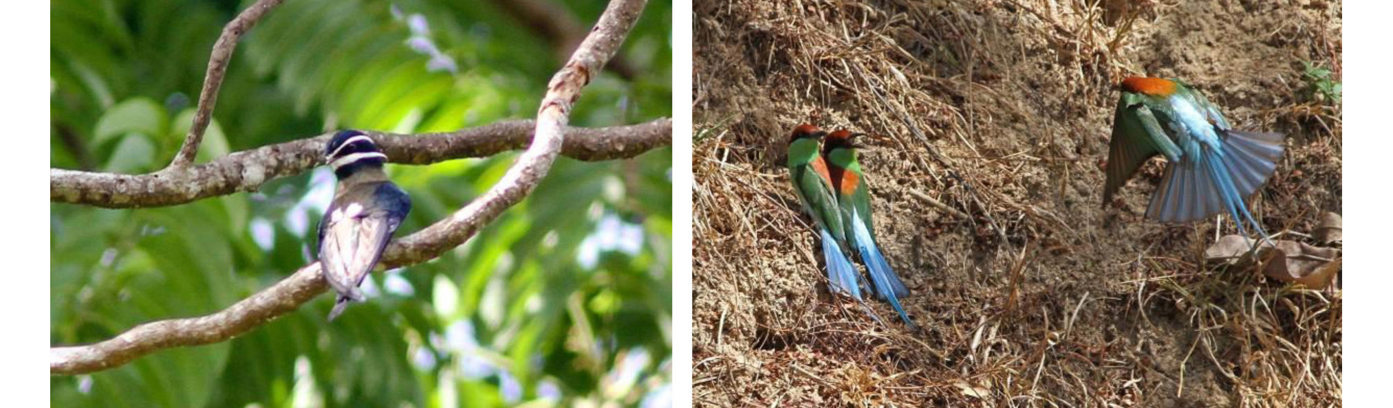 Whiskered Treeswift and Blue-tailed Bee-eater