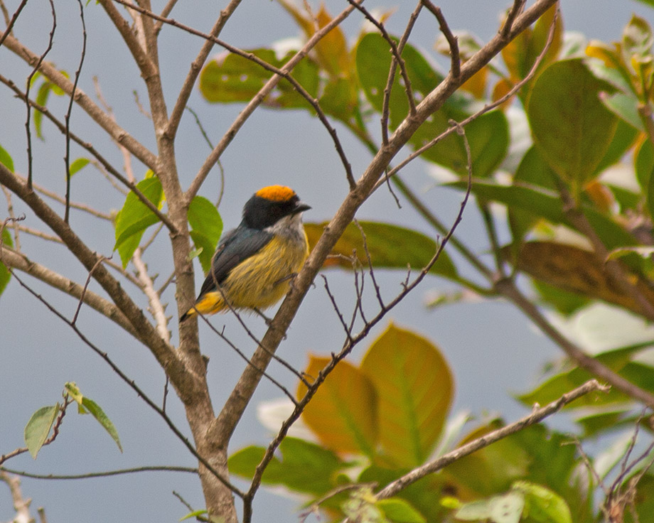 Flame-crowned Flowerpecker