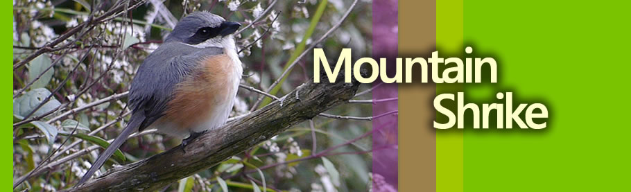 Mountain Shrike from the Cordilleras Copyright Adri Constantino / www.birdingphilippines.com  birding philippines #birdingphilippines