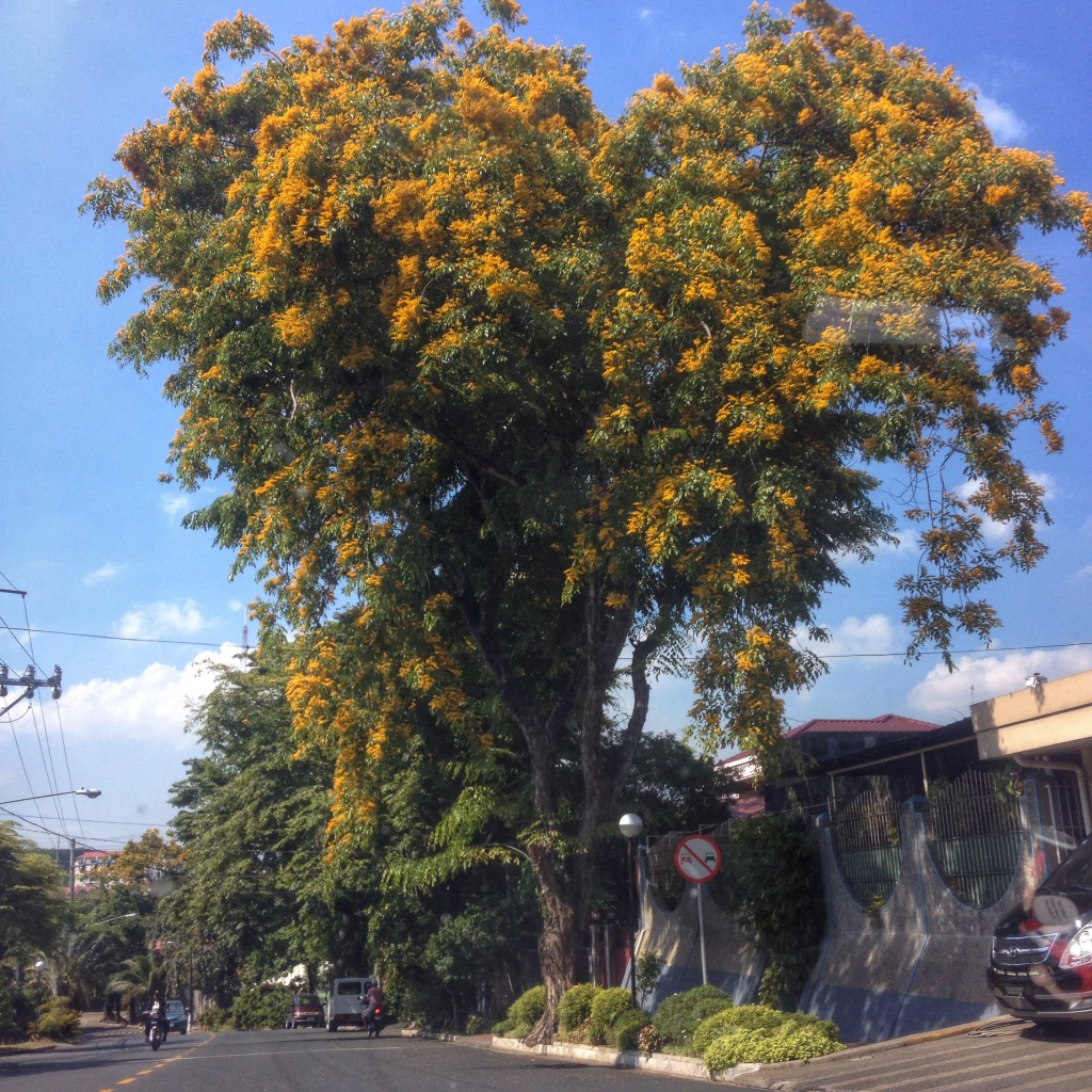 A Narra Tree (Pterocarpus indicus) in bloom