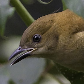 Cinnamon Ibon by Nicky Icarangal JR/www. birding philippines .com