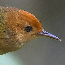 Rufous-headed Tailorbird  by Nicky Icarangal JR/www. birding philippines .com