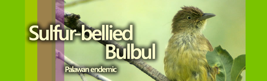 Sulfur-bellied Bulbul Copyright Nicky Icarangal JR.  / www.birdingphilippines.com  birding philippines  #birdingphilippines