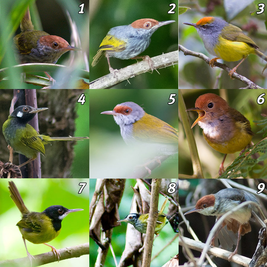 Tailorbirds of the Philippines